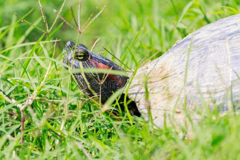 Red-eared slider turtle walks between water holes within the Bald Knob National Wildlife Refuge in Bal. Red-eared slider turtle, Trachemys scripta elegans, walks stock images