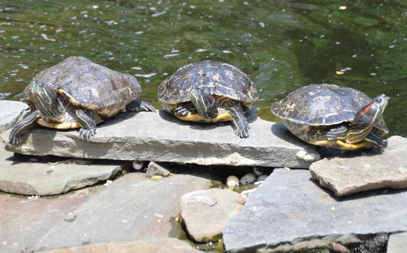 Red-eared Slider Turtles. Three red-eared slider turtles, Trachemys scripta, basking in the sun on rocks by the pond royalty free stock photos