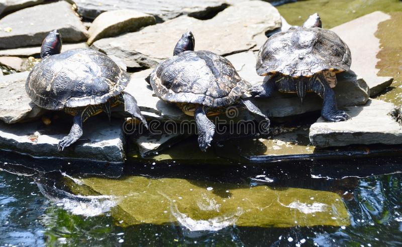 Red-eared Slider Turtles. Three red-eared slider turtles, Trachemys scripta, basking in the sun on rocks by the pond stock photo