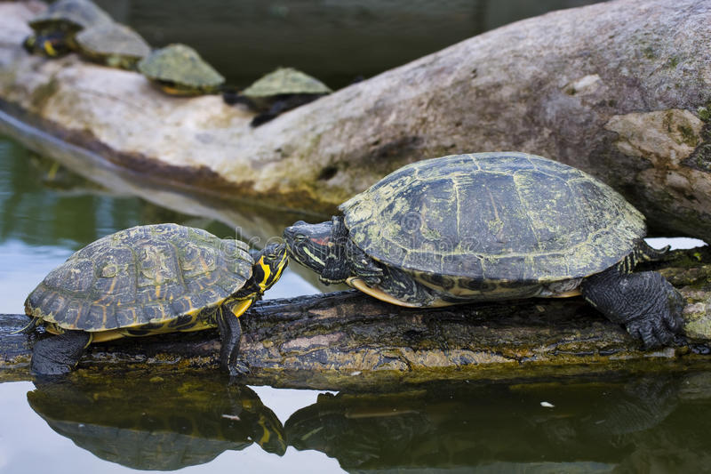 Red-Eared Sliders Stock Image