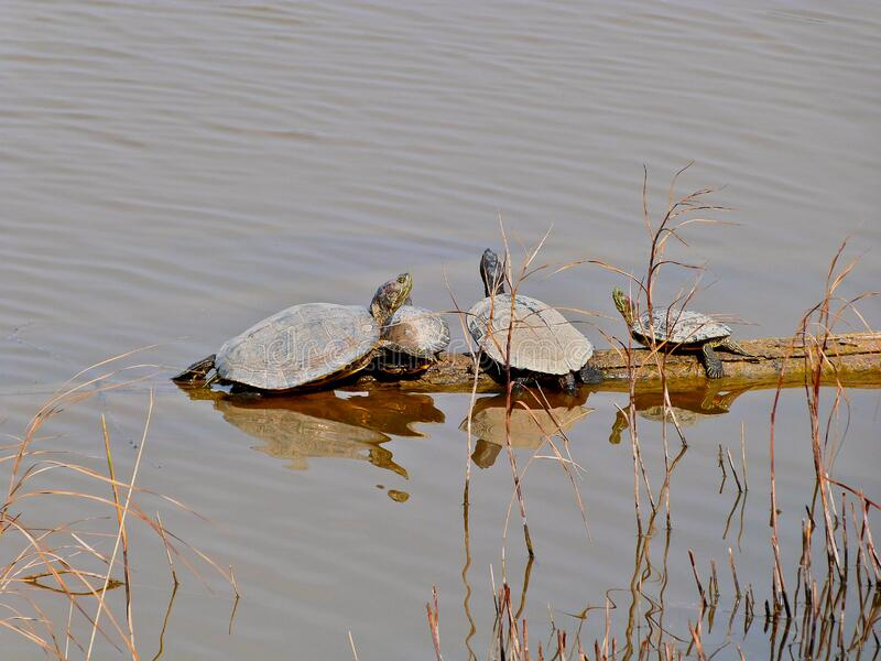 Red-eared sliders stock photos