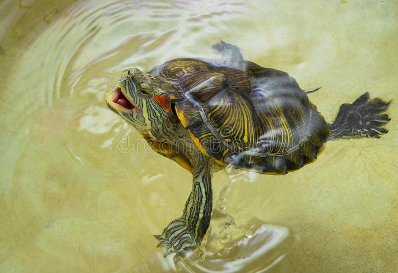 Red-eared turtle with an open mouth on the surface of the water.Protected, trying to bite. Trachemys scripta.Red-eared turtle.Yellow-bellied.With an open mouth stock image