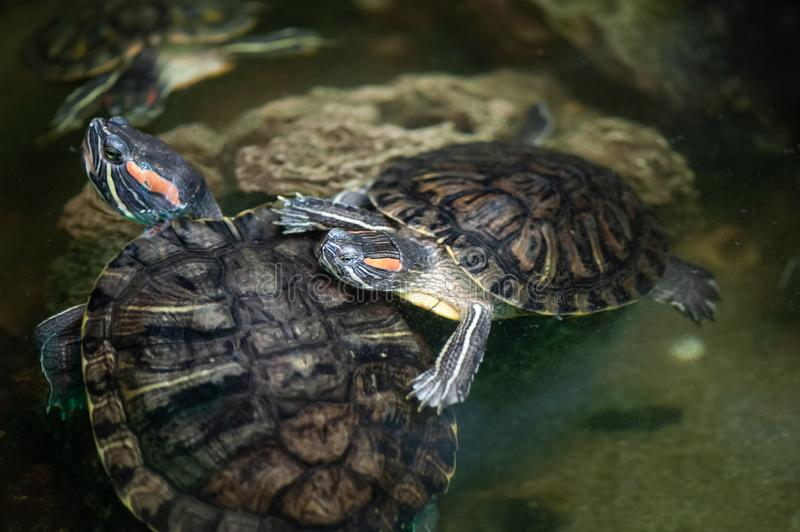 Red-eared turtle  in the terrarium royalty free stock photos
