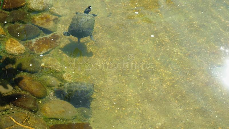 Red eared turtles swim in the clear water of an artificial pond outdoors royalty free stock images