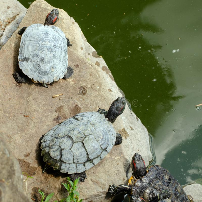 Free Red-eared Water Turtles On The Rocks Near The Pond Bask In The Sun . Sitting On Each Other. Royalty Free Stock Photography - 168079077