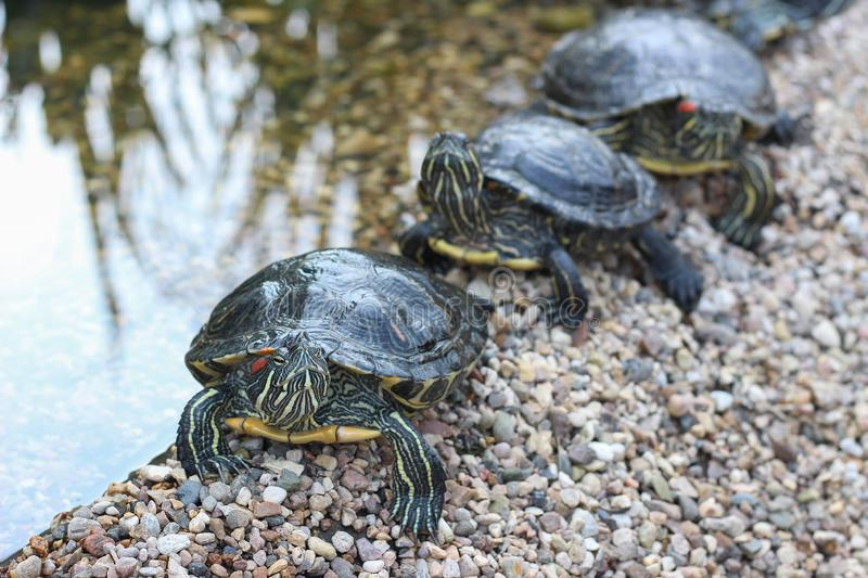 Red-eared water turtles sitting in a row on the shore of the pond. Close up. royalty free stock photo