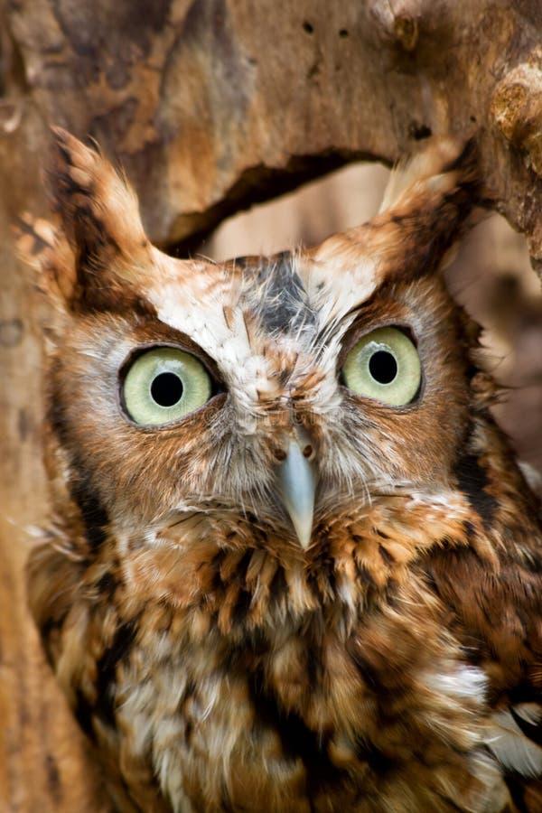 Red Eastern Screech Owl stock photo