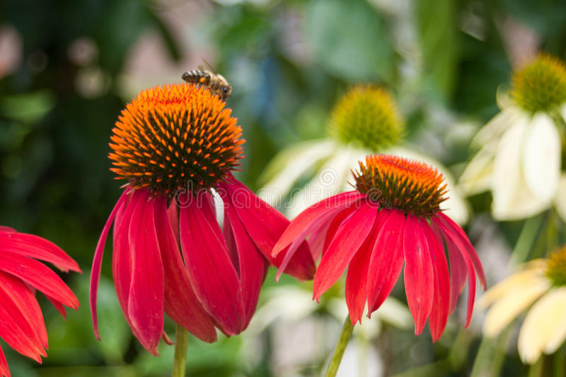 Red echinacea. Cheyenne spirit in urban park royalty free stock image