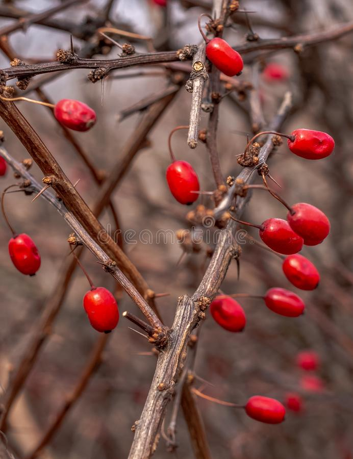 Red edible berries of the famous shrub of the European barberry on the prickly branches with thorns in the forest. Red edible berries of the famous shrub of the royalty free stock image