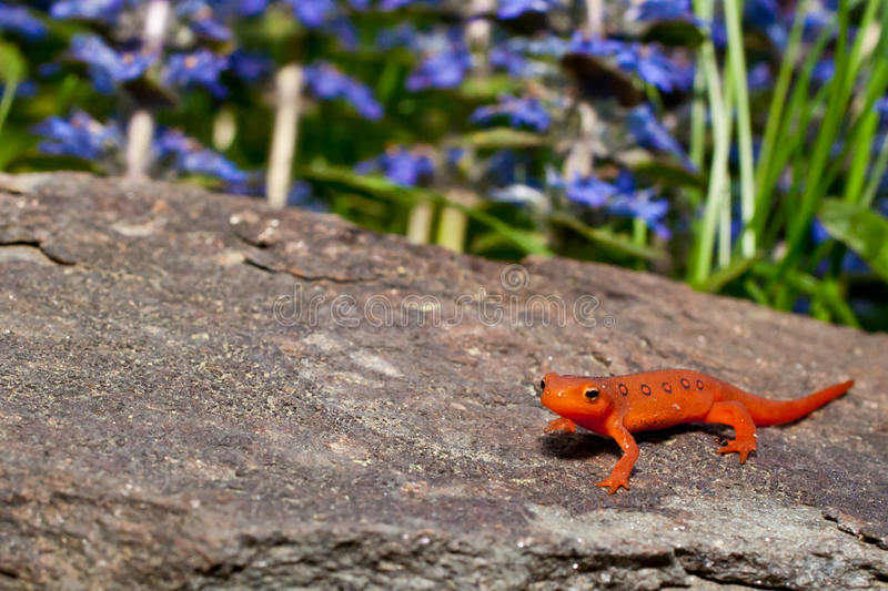 Red Eft royalty free stock image