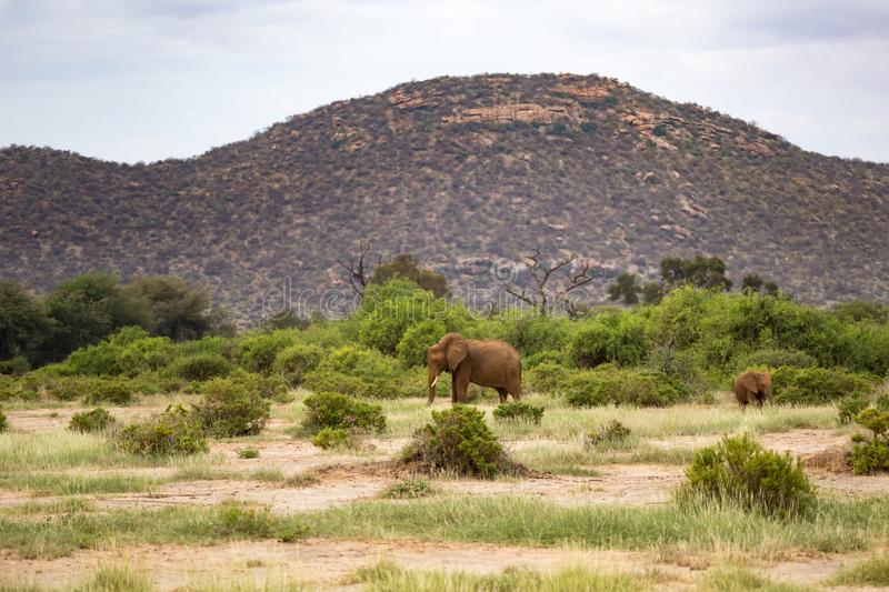 Red elephants walking between the bush in front of a hill stock images