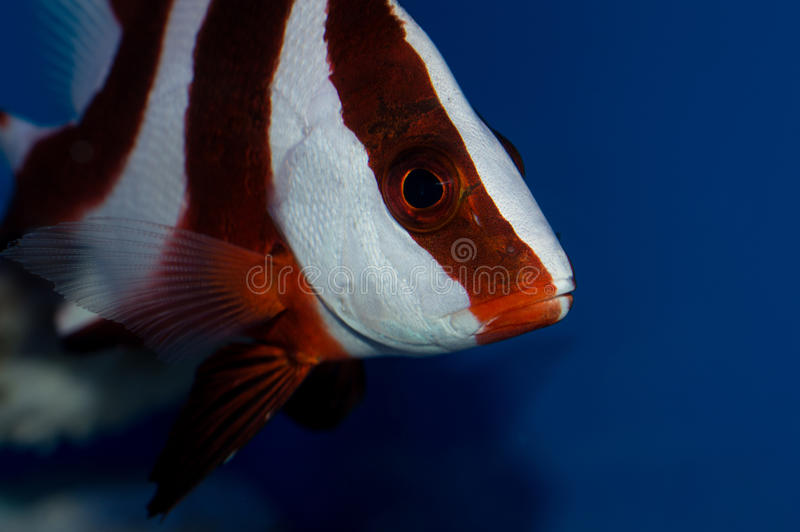 Red Emperor Snapper. Lutjanus sebae, the emperor red snapper, is a species of snapper native to the Indian Ocean and the western Pacific Ocean. This species is royalty free stock photography