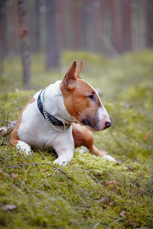 The red English bull terrier lies in the wood stock photo