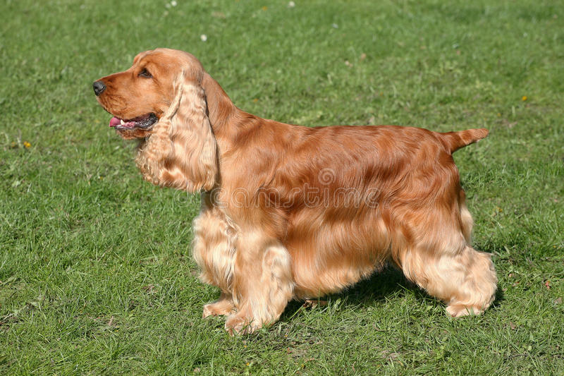 Download Red English Cocker Spaniel stock image. Image of grass - 35213279