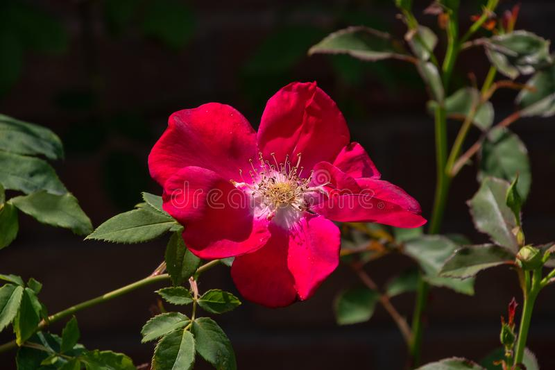 Red English shrub rose. In a garden royalty free stock images