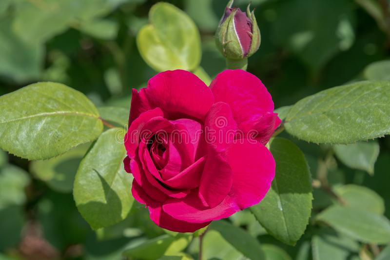 Red English shrub rose. In a garden royalty free stock image