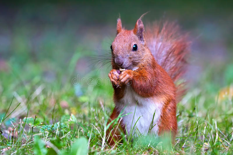 Download Red Eurasian squirrel stock photo. Image of nature, common - 20023644