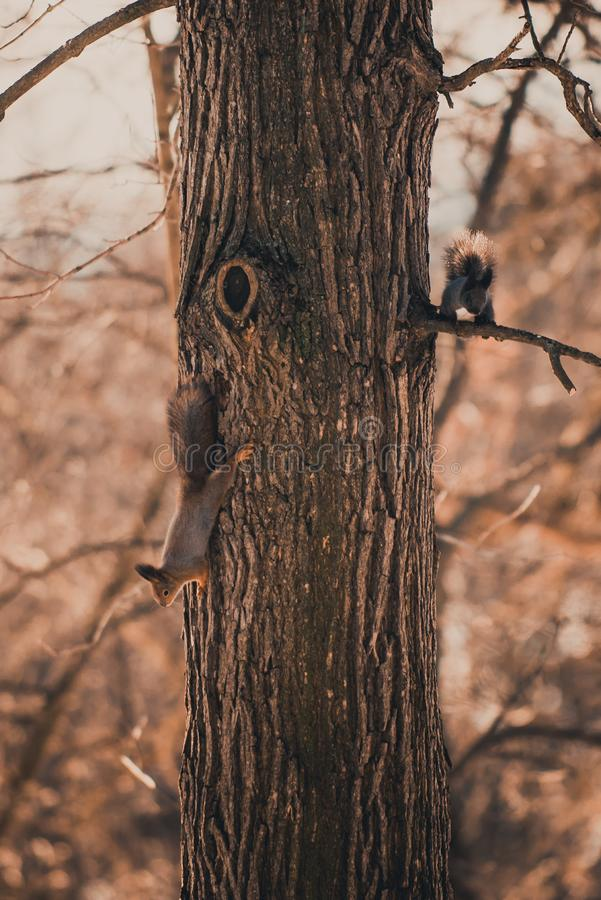 Two eurasian squirrels on the tree royalty free stock photo