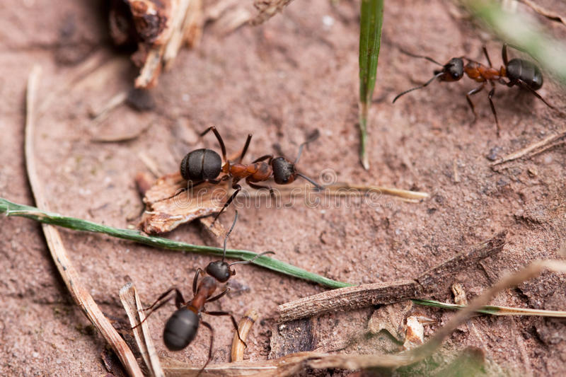 Red European Forest Ants (Formica rufa). Worker in Spring stock images