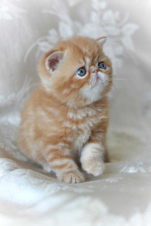 Red Exotic Shorthair Kitten Sitting On A Gray Background