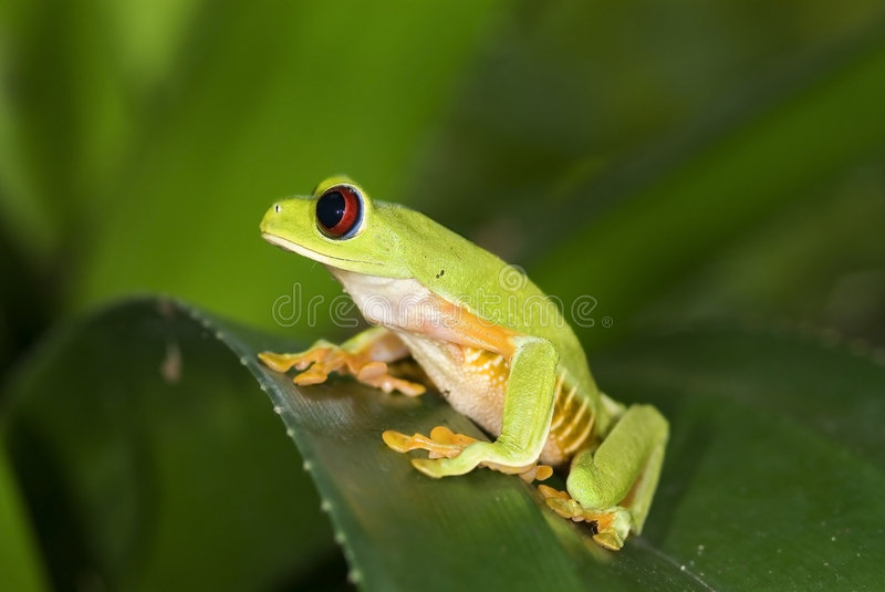 Red Eye stock photography