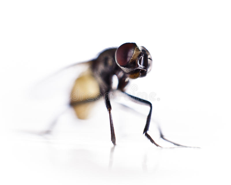 Download Red Eye Fly stock image. Image of blur, insect, macro - 26506649