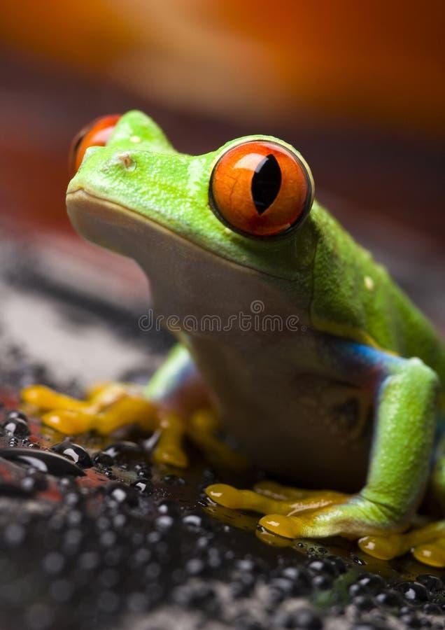 Red eye frog stock photography