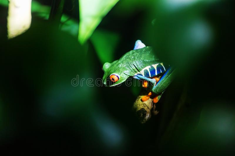Frog in Costa Rica. Red-eye frog Agalychnis callidryas in Costa Rica, Central America royalty free stock photography