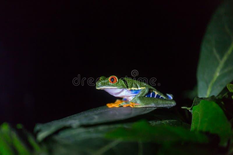 Frog in Costa Rica. Red-eye frog Agalychnis callidryas in Costa Rica, Central America stock photo