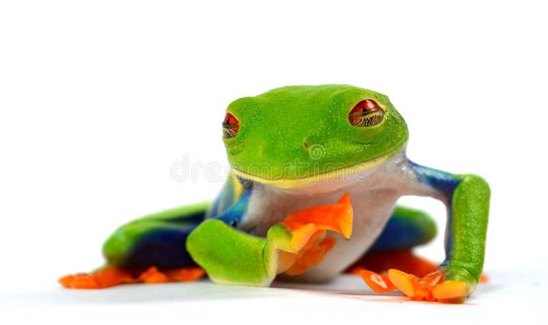 Red eye frog. Phyllomedusa makro stock image