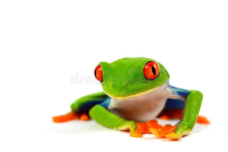 Red eye frog. Phyllomedusa makro stock photos