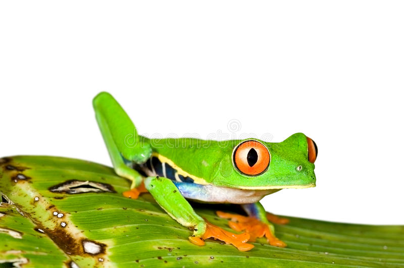 Red eye tree frog royalty free stock photo