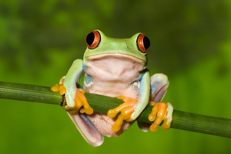 Red Eye Tree Frog on Branch stock image