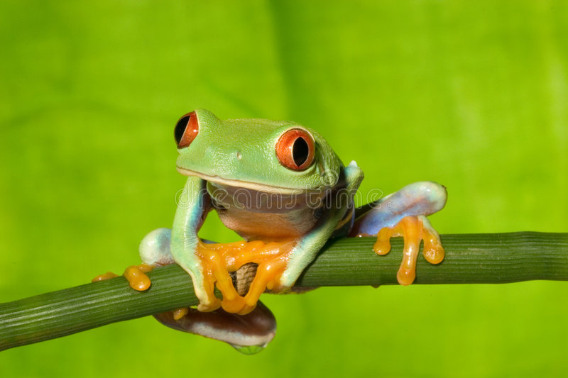 Red Eye Tree Frog on Branch 2 royalty free stock photos