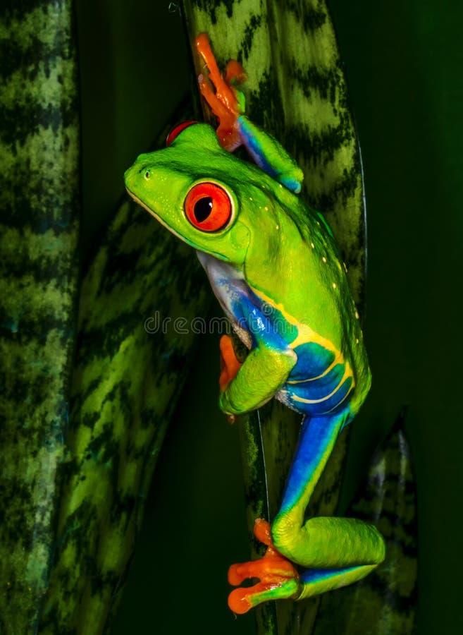 Red eye tree frog climbing. stock photos