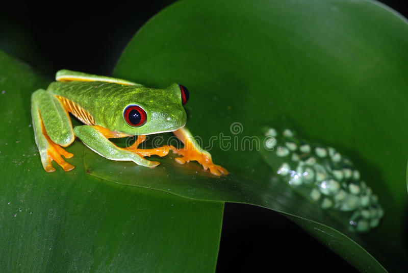 Red eye tree frog with eggs on a leaf. A red eye tree frog with an egg sac on a leaf in Costa Rica stock photos