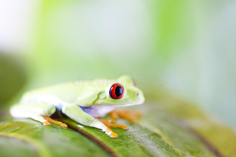 Red eye tree frog on leaf. Frog on the leaf on colorful background stock photography