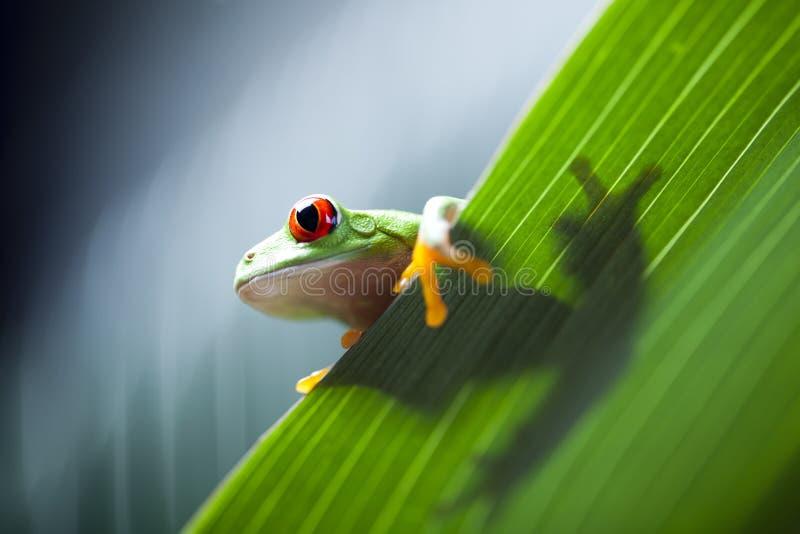 Red eye tree frog on leaf. Red eye tree frog on colorful background stock photo