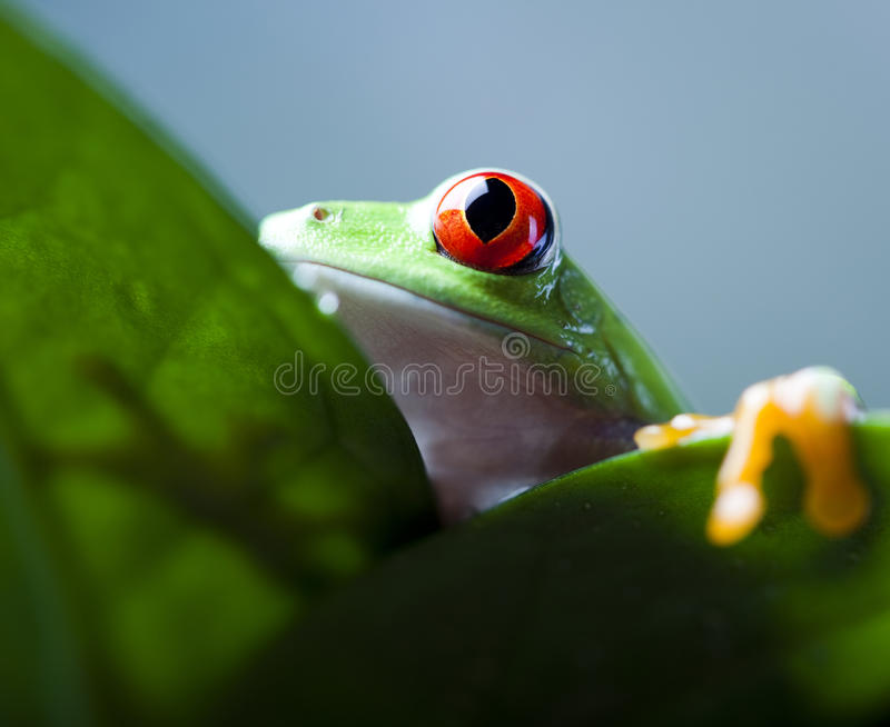 Red eye tree frog on leaf. Frog in the jungle on colorful background royalty free stock images