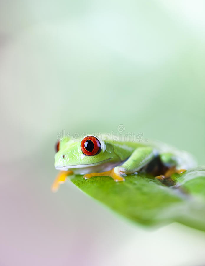 Red eye tree frog on leaf. Frog shadow on the leaf on colorful background stock images
