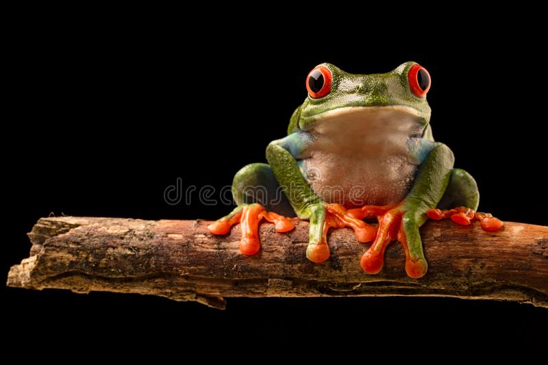 Red eye tree frog. On a twig in the tropical rain forest of central America stock photo