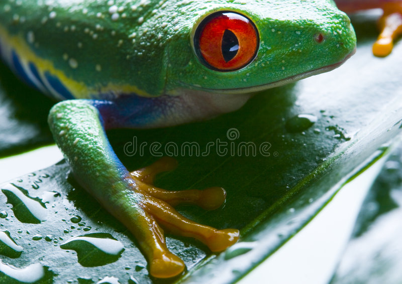 Red Eyed Stock Photo