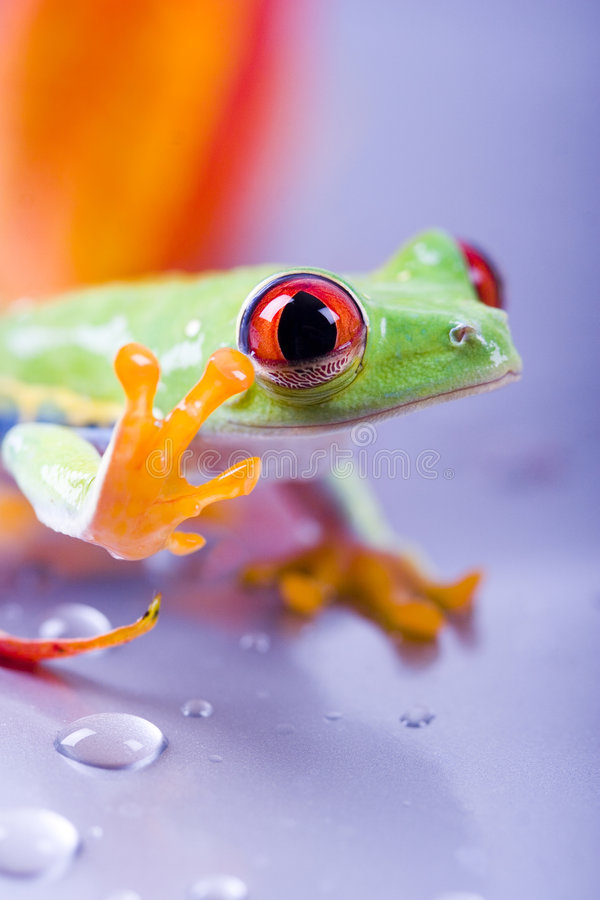 Red eyed stock photography