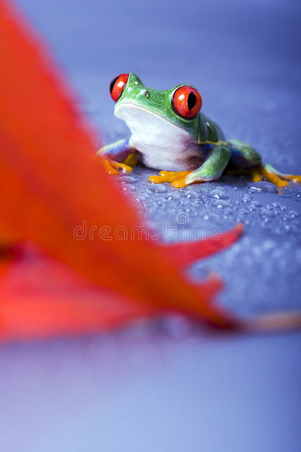Download Red eyed stock photo. Image of peep, abstraction, rotaugenlaubfrosch - 2316610