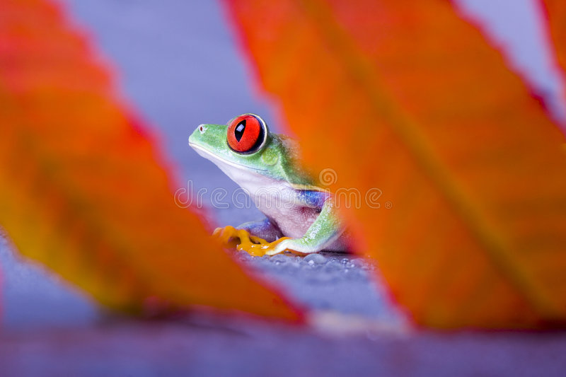 Download Red Eyed Royalty Free Stock Photo - Image: 2316615