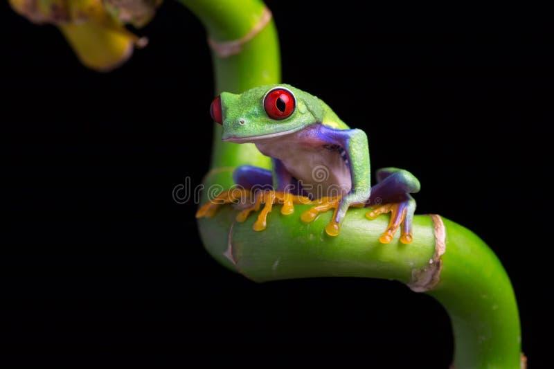 Red-Eyed Amazon Tree Frog (Agalychnis Callidryas) royalty free stock images