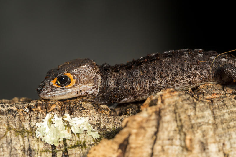 Red eyed crocodile skink on a tree trunk stock photos