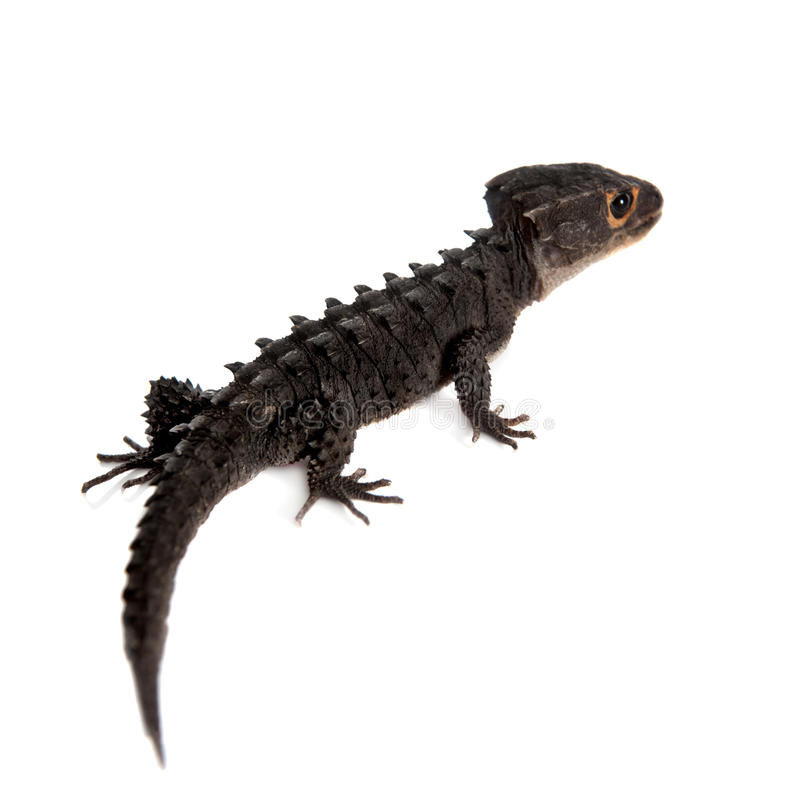Free Red-eyed Crocodile Skinks, Tribolonotus Gracilis, On White Royalty Free Stock Photo - 65798425