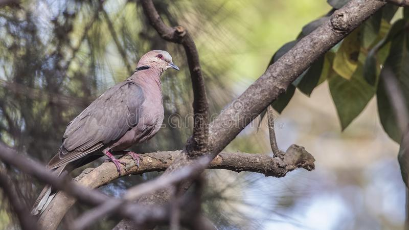 Red-eyed Dove on Bare Tree Branch royalty free stock photos