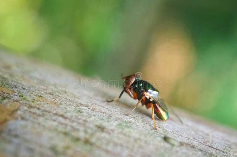 THE RED-EYED FLIES. Close up photo of the red-eyed fly, the break is necessary royalty free stock images